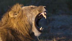 Male lion yawning